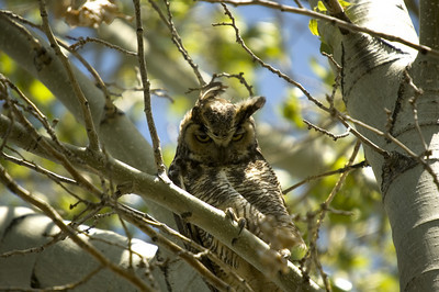 Great Horned Owl Photo (copyright Stephen Bruno)