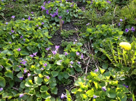 Wild violets in our yard