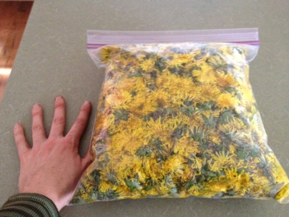 Yes, We Have a Cash Crop! And Other Blessings in Disguise… Dandelion-harvest-2