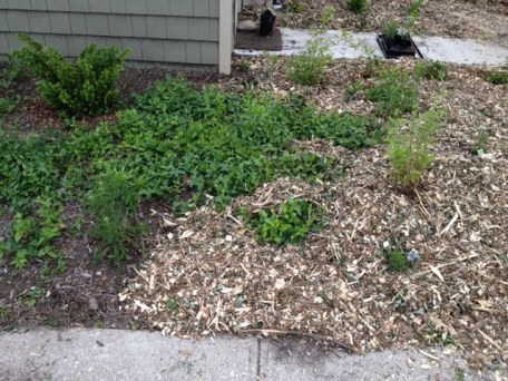 Partially Mulched Front Herb Garden with echinacea, lavender, yarrow, creeping thyme, Fall asters, feverfew, chamomile, some kind of groundcover, forsythia and some evergreens planted by our landlord last Fall