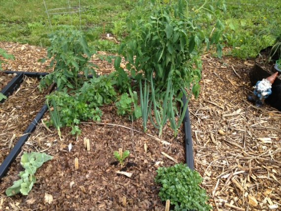 "The ""Bed Bed"" with new chard, watercress, tomato, basils, onions and sea kale."