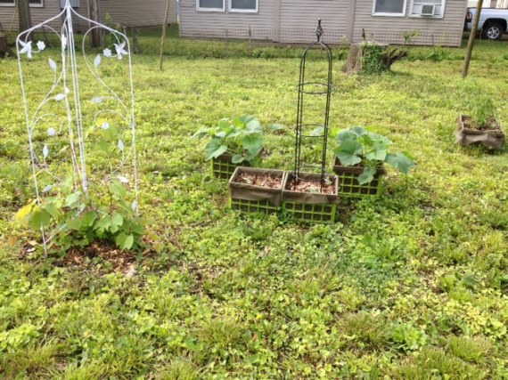 Just some of our squash, melons and cukes. We will be trellising those to make green walls in various parts of the yard. Also you can see grape vines to the left.