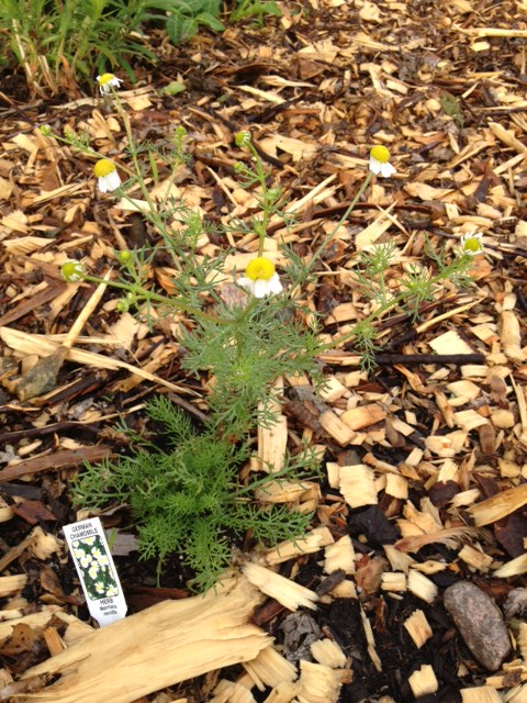 Intentionally planted German chamomile in the herb garden