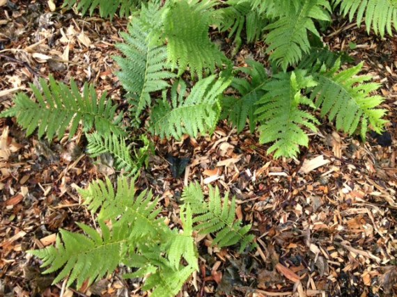 Volunteer ferns (also requested) on the North side of the house