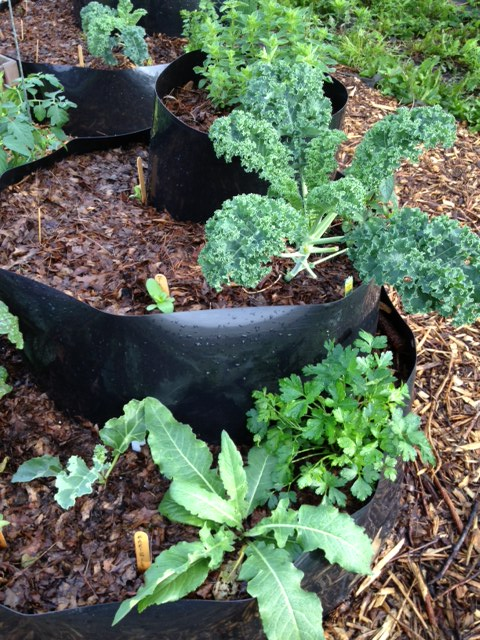 Kale, parsley, Turkish rocket (a perennial), oregano, and Ruby Red Chard, zinnia and calendula sprouts in one of the InstaBeds.