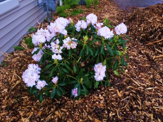 June 1 Rhododendrons