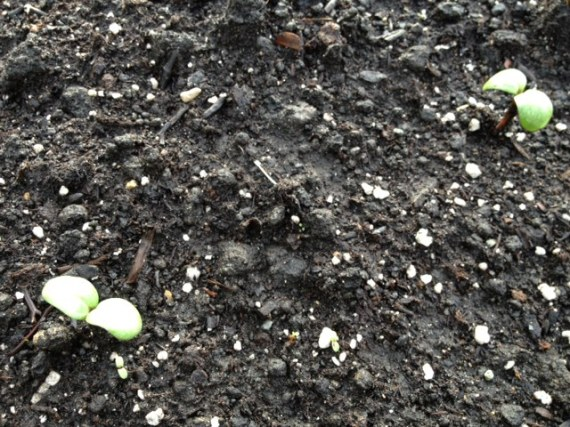 Lemon Queen Sunflowers sprouted last night in the flower bed out front.