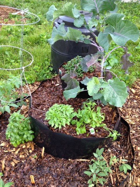 Tree collards (another perennial), tomato, two kinds of basil, arugula and peppermint in another InstaBed (with compost bin in back)