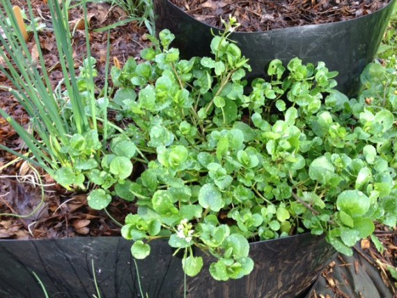 Watercress and chives going gangbusters!
