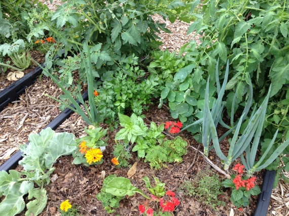 "The ""Bed Bed"" with newly planted thyme, a transplanted zinnia, regrowing Swiss chard, sea kale, salvia, parsley, nasturtiums, onions, various types of basil and tomatoes gone crazy!"