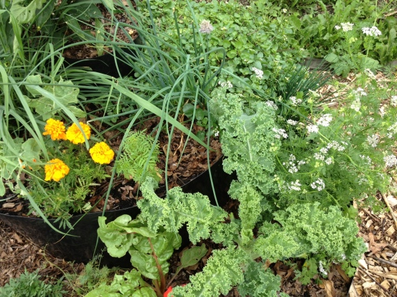 Flowering cilantro, two types of kale, ruby red chard, marigold, lemongrass, chives, watercress, dill, and bell peppers loving each other up!