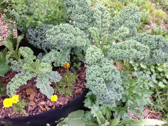 Kale *after* harvesting two bags' worth in 18 hours just from the right side one.
