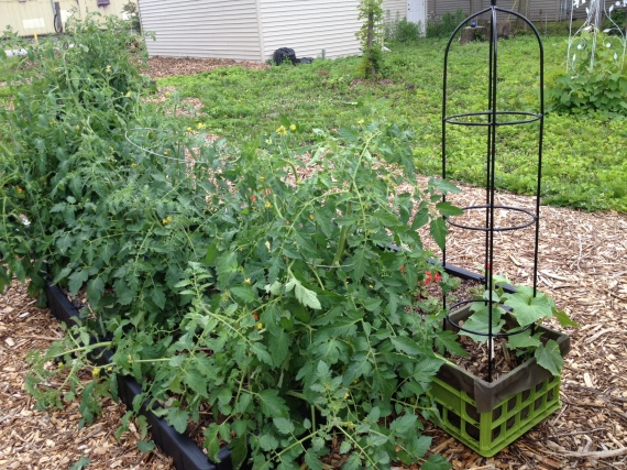 "North side of the ""Bed Bed"" (a repurposed Sleep Number Bed frame) with overgrown, post-pruned tomato plants, basil, oregano, and cucumbers starting to climb the trellis."