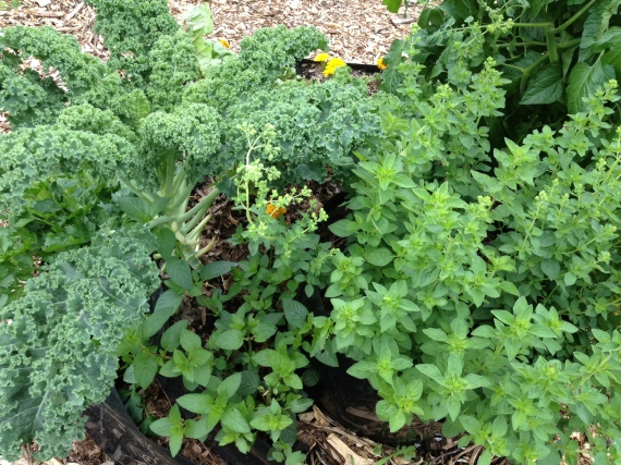 Winterbor kale, chocolate mint, oregano starting to bud, with marigolds and tomato foliage peaking through.