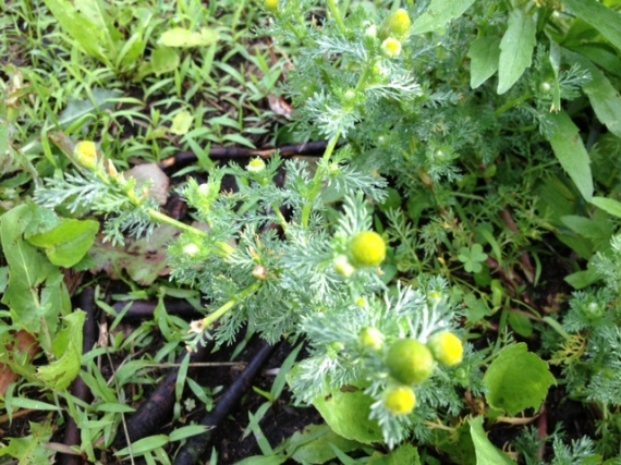 Volunteer chamomile that answered my call the next morning