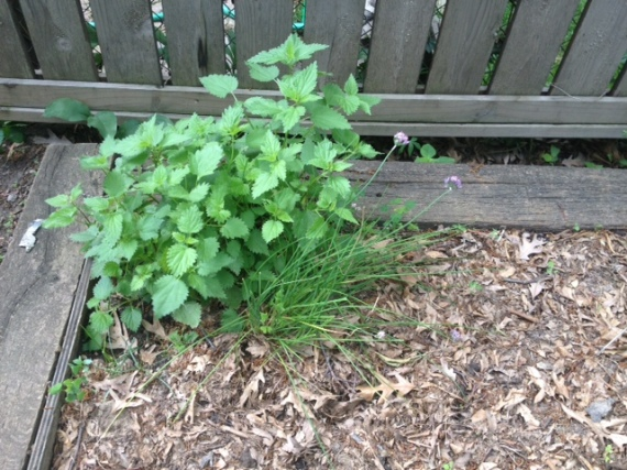 Nettles in their prized spot in the shady Madison garden