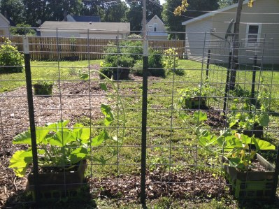"""Boston Marrow squash with the new trellis and a Yellow German tomato """"rescue"""" from Whole Foods. You can see the cantaloupe to the right and the lone Jubilee watermelon crate to the left, plus the main gardens out back."""