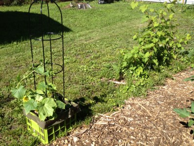 Cucumbers and grapes beginning to trellis