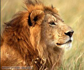 oracle_lion