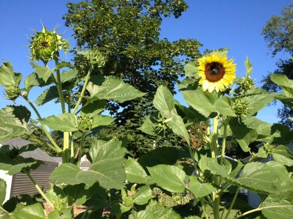Lemon Queen Sunflowers