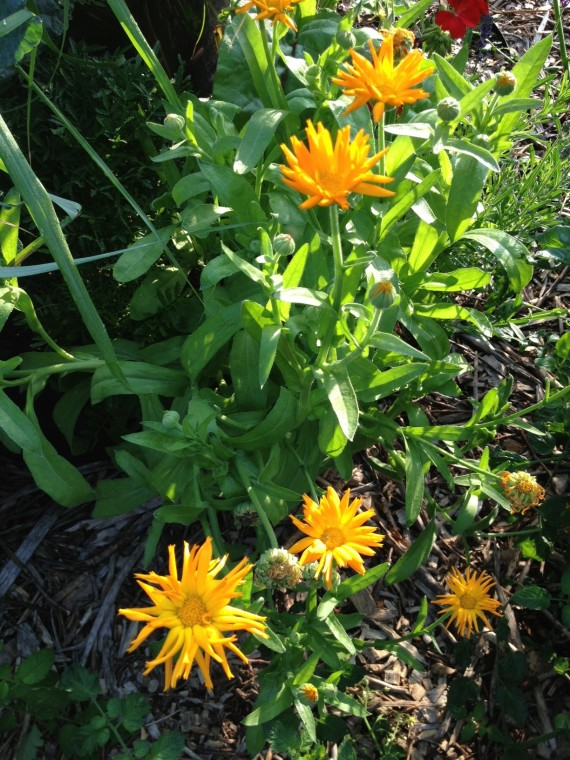Calendula or pot marigold makes me so happy! I've tried to grow this before with only minimal success. This year, I've got calendula plants smiling in several spots, and they play nicely with red geraniums and lavender. Bees congregate here.