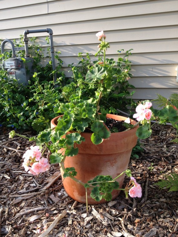 I've had this geranium for years! In the winter, she turns our kitchen into a garden.
