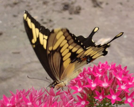 Giant Swallowtail (photo from Wikipedia)