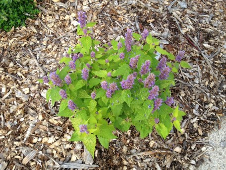 Hyssop and creeping thyme in the upper left corner