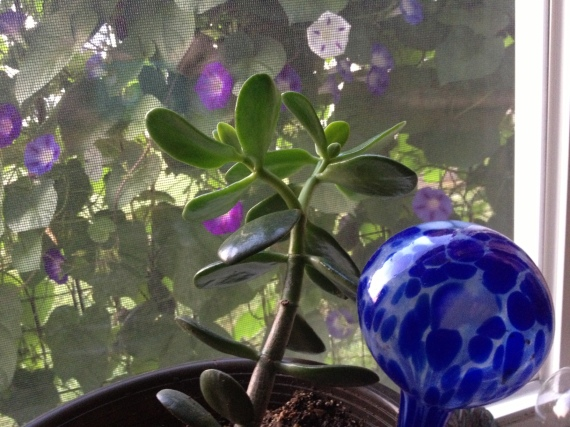 Morning glories and jade