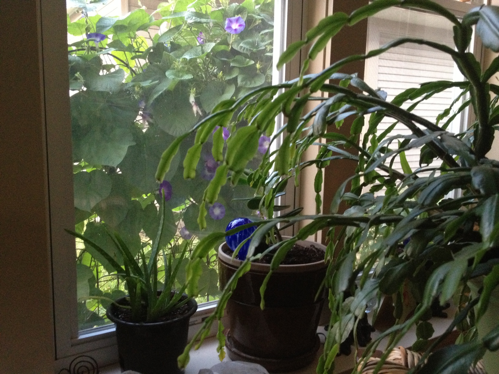 Morning glories from inside