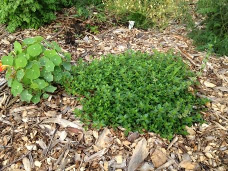 Dwarf nasturtium and creeping thyme
