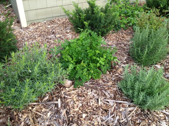 Tarragon, parsley, rosemary and more lavender