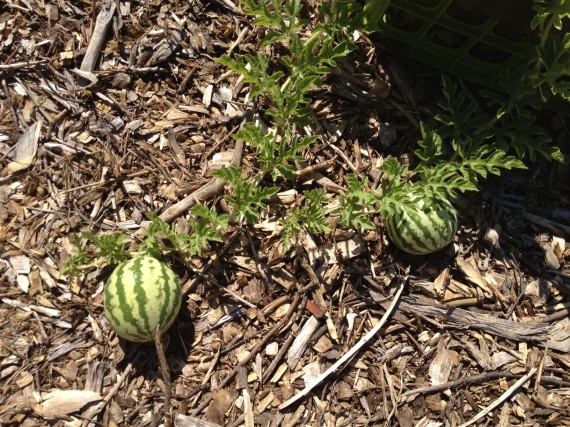 Jubilee watermelon growing in a crate