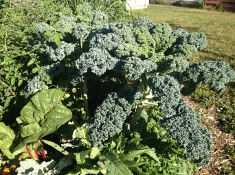 All five of my kale plants are huge and ready for harvest!