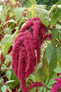 The amaranth I plan to grow.