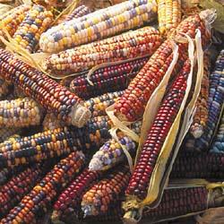 Mandan Bride Corn