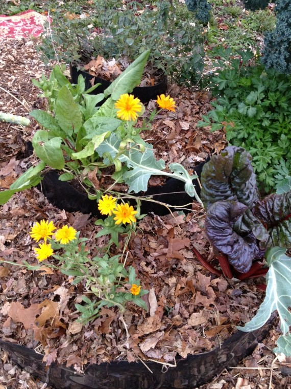 Calendula flowers, ruby chard, French sorrel, parsley, oregano and kale ... one diverse, happy family