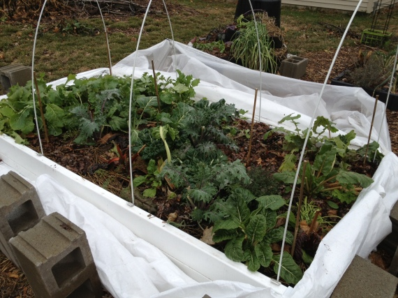 cold frame greens