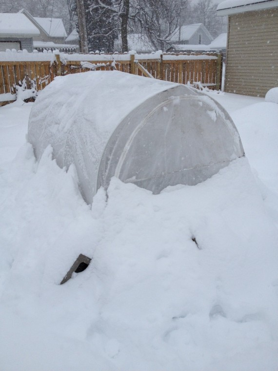 As of yesterday, the cold frame was hunkered down in two feet of snow, even after a brush off.