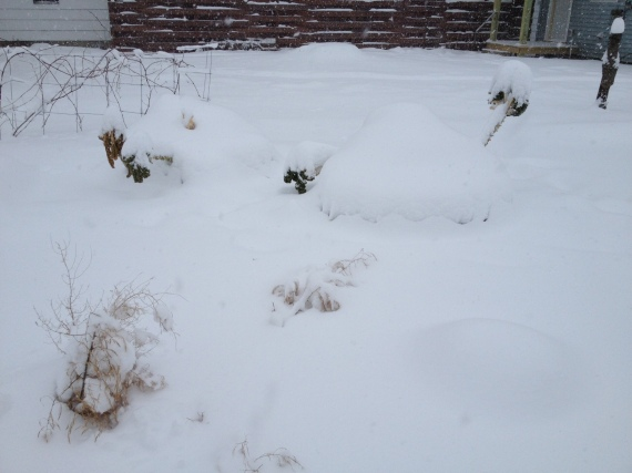 I harvested a bunch and a half of Winterbor kale before the heaviest snows piled on. (This photo shows about 4 inches less snow than we have.)