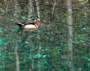 A wood duck on McDonald Creek