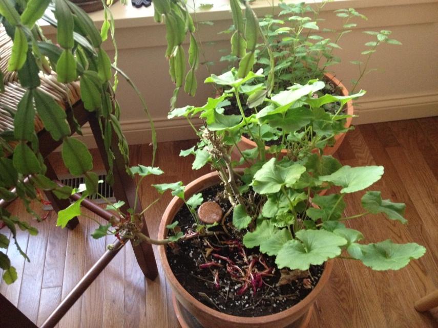 Orgone and Indoor Plants Geranium-after