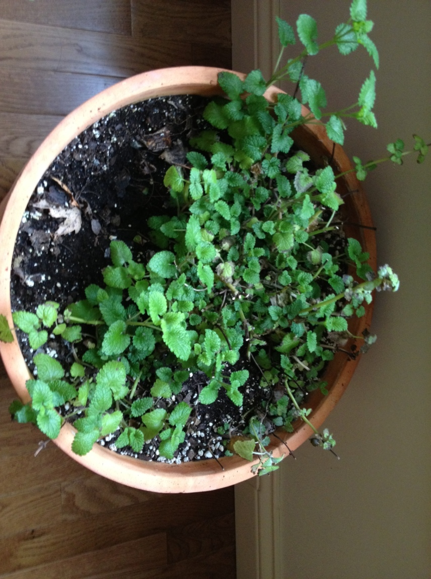 Orgone and Indoor Plants Lemon-balm-before
