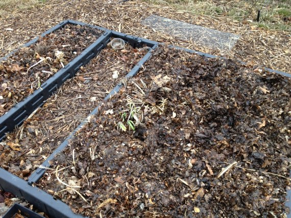 The Bed Bed (a reclaimed Sleep Number Bed Frame) filled with compost and leaf mulch and planted with fava beans. The wire at the top went over the bean seeds to discourage squirrels, who may have unearthed all the tulips I planted last fall. :(