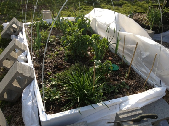 cold frame in May