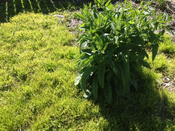 comfrey after harvesting lots for compost and mulch.