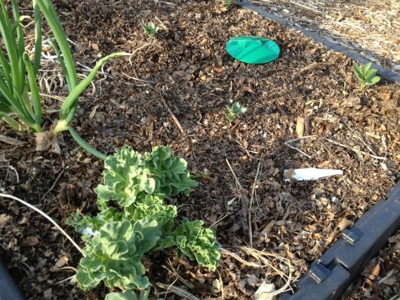 Fava, sea kale and Egyptian Walking Onions