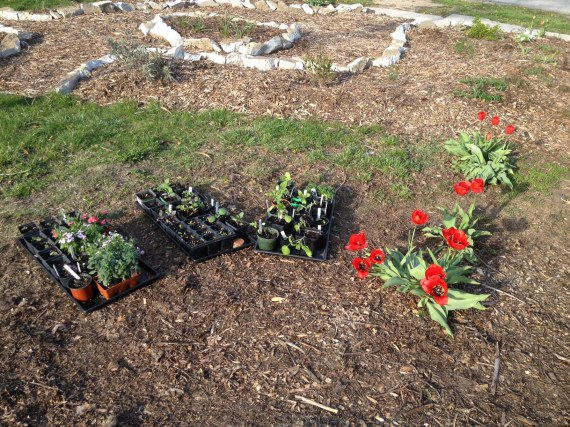 Plant starts and tulips
