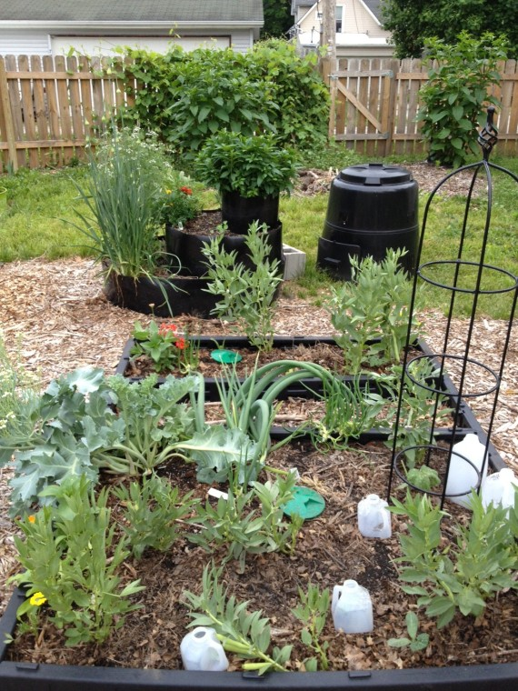 Fava's, pumpkins, watermelon, Egyptian walking onions, sea kale, calendula, marigolds, geranium and zinnias, with scarlet runner bean sprouts under some of the milk jugs