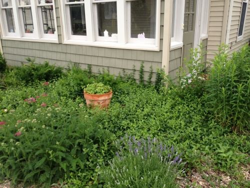 Yarrow, lavender, lemon balm (in the pot), asters, forsythia, purple coneflower, yews, vines and, somewhere in there, a delphinium.